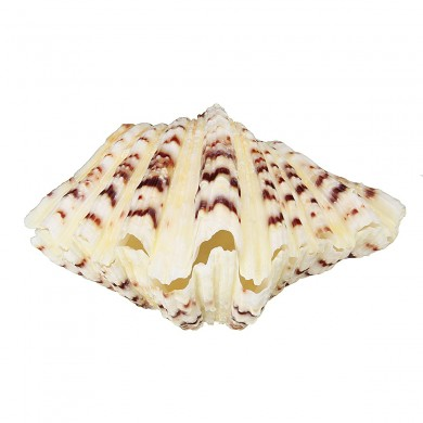 Decorazioni per il soggiorno Conchiglia di mare Clam Tridacna Big Conch Natural 10-12CM Fish Tank Decorations
