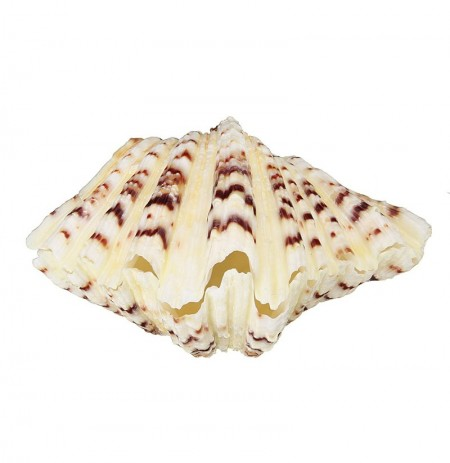 Ornements de salon Mer Shell Clam Tridacna Big Conch Naturel 10-12CM Fish Tank Décorations