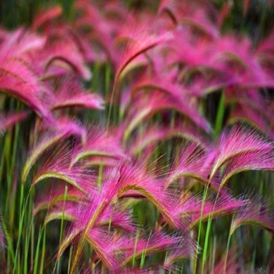 100Pcs/Bag Pink Foxtail Barley Ornamental Grass Seeds Home Garden Seeds