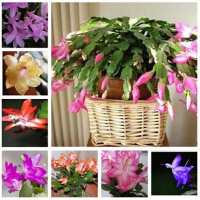 Egrow 20PCS/Pack Zygocactus Truncatus Seeds Schlumbergera Plants Easy To Grow Indoor Potted Plants