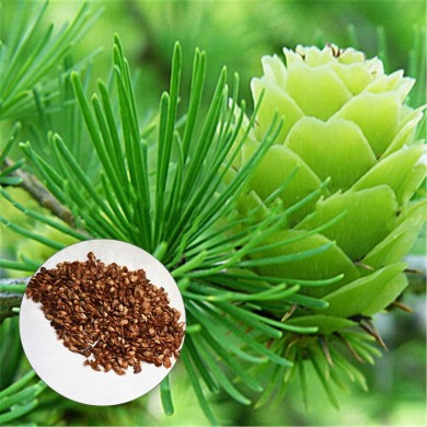 Egrow 50PCS/Pack Pine Seeds Bonsai Larch Pine Tree Plants For Home Garden Potted Perennial Larix Tree Plant In Flower Pot Fast G
