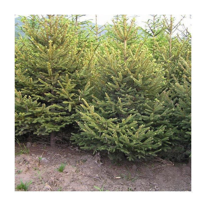 50pcs Dragon Spruce Tree Seeds Garden Courtyard Evergreen Arbor Annual Plant