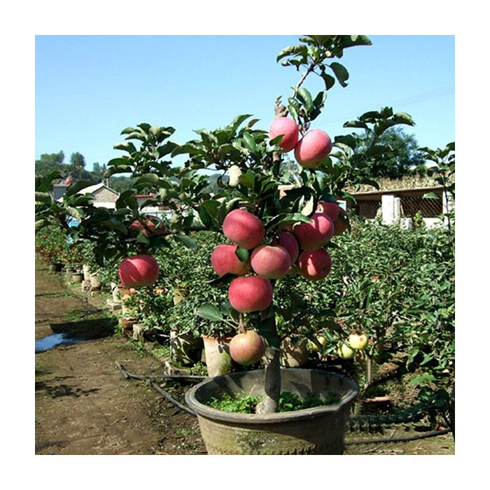 Egrow 100 Pcs Pack Apple Tree Seeds Garden And Home Potted Fruit Red Apple Seed Bonsai Plants