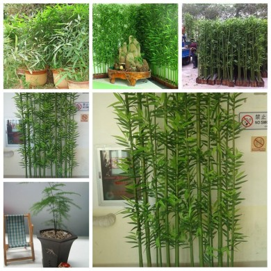 Egrow 60Pcs / Pack Chinois Mini Moso Bambou Graines Phyllostachys Heterocycla Cour Moso Bamboo pour DIY Maison Jardin Plant