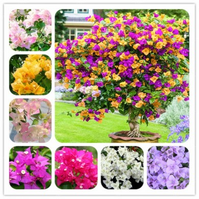 Egrow 100Pcs/Pack Colorful Bougainvillea Flower Seeds Spectabilis Willd Plants Perennial Flower Garden Bonsai Potted Plant