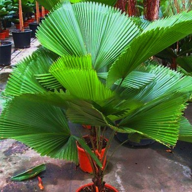 Egrow 20Pcs/Pack Fan Palm Tree Seeds Ornamental Livistona Chinensis Plants Tall Evergreen Palm Tree